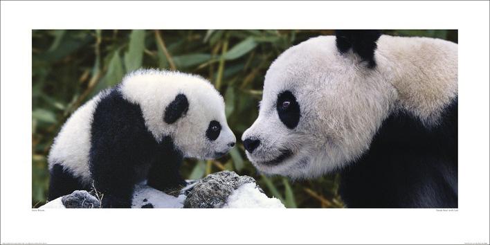 Steve Bloom (Panda Bear With Cub) Art Prints