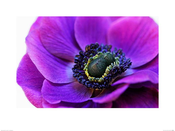 Alyson Fennell (Purple Anemone) Art Print