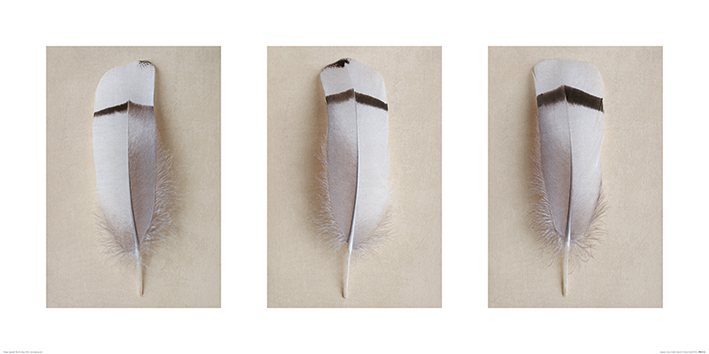 Alyson Fennell (Egyptian Goose Feather Triptych) Art Prints