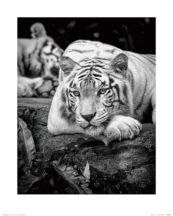 Pete Seaward (Tiger Stare) Art Print