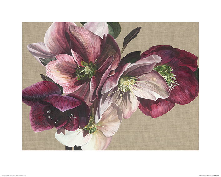Sarah Caswell (Hellebore IV) Art Prints