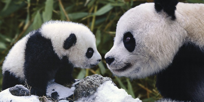 Steve Bloom (Panda Bear With Cub) Canvas Print