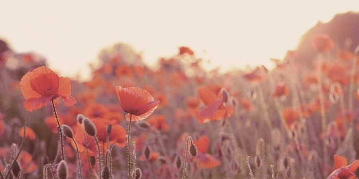 Ian Winstanley (Field of Poppies) Canvas Prints