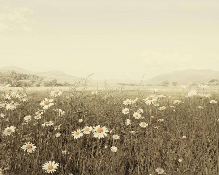 Ian Winstanley (Field of Daisies) Canvas Prints