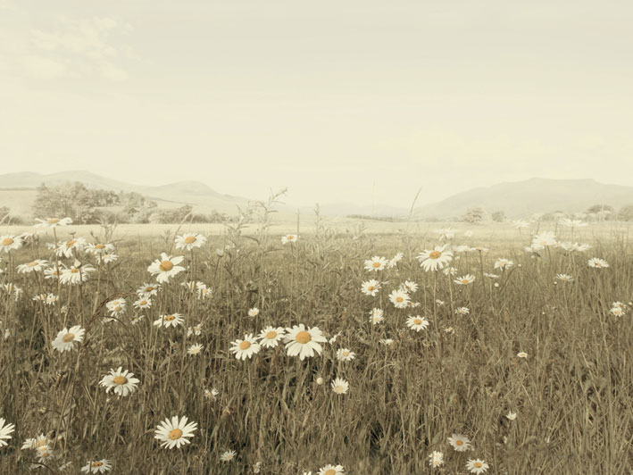 Ian Winstanley (Field of Daisies) Canvas Print
