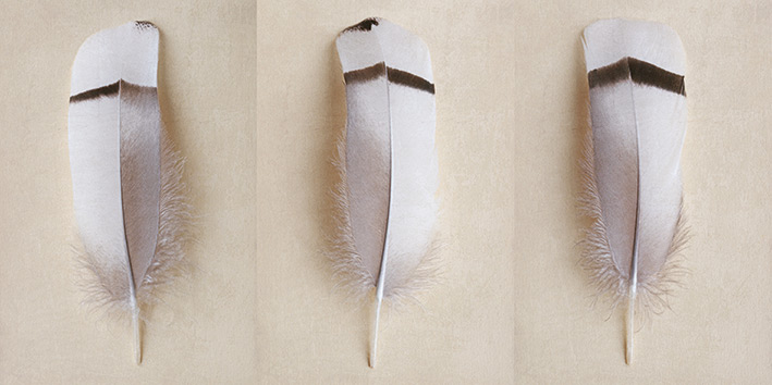Alyson Fennell (Egyptian Goose Feather Triptych) Canvas Prints