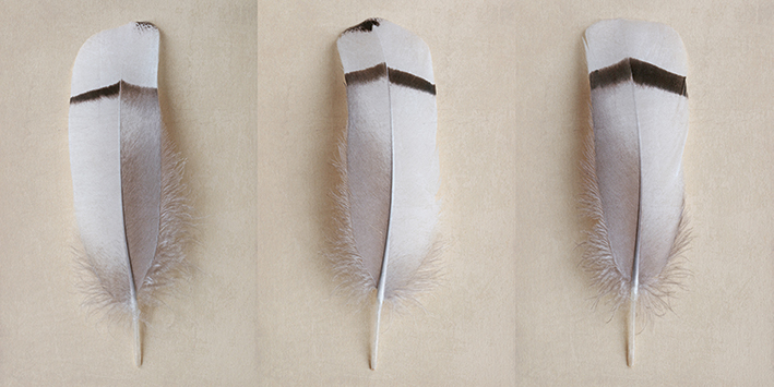 Alyson Fennell (Egyptian Goose Feather Triptych) Canvas Print
