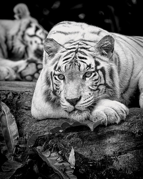 Pete Seaward (Tiger Stare) Canvas Prints