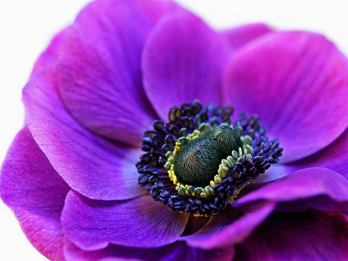 Alyson Fennell (Purple Anemone) Canvas Prints